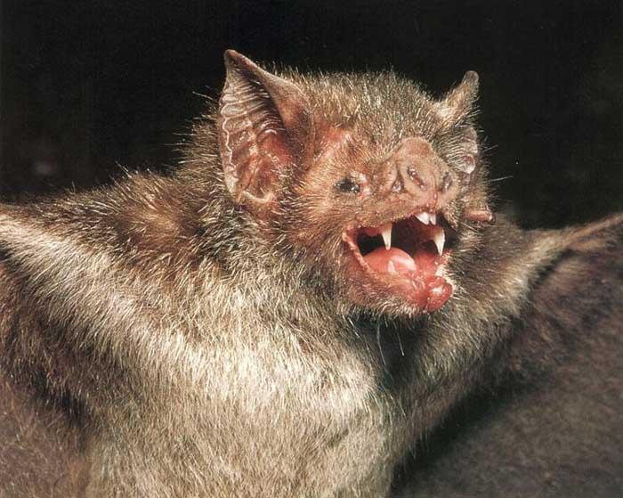 Chauve souris (vampire) Ewyxvxtz
